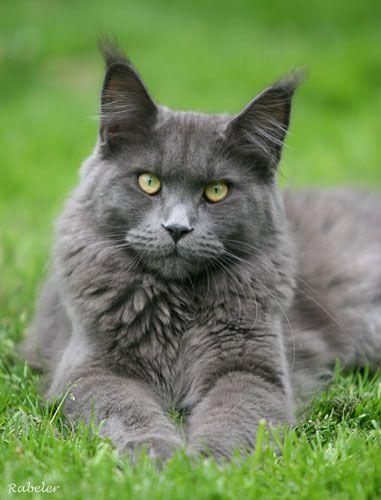 Dark Grey Maine Coon Kittens 11 best Maine Coon - B...