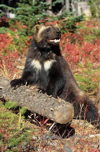 Wolverine, (Gulo gulo) In Rocky mountains. Montana.  Captive Animal.