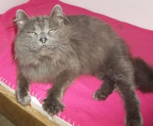 Grayson: Domestic Long Hair-Gray, Cat; Clinton, MO   Aw this is biscuit maker!