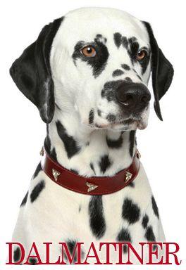Dalmatineren - Hunden med store pletter der kræver menneskelig opmærksomhed! #hunde #hvalpe - www.petdreams.dk