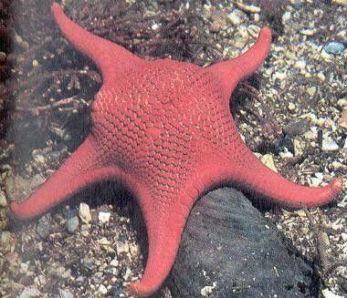 10 Best Phylum Echinodermata Images On Pinterest Starfish Ocean