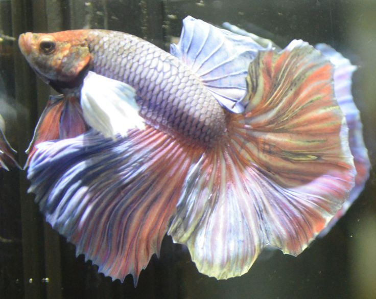live betta fish- pastel multicolred DUMBO EARS halfmoon ...