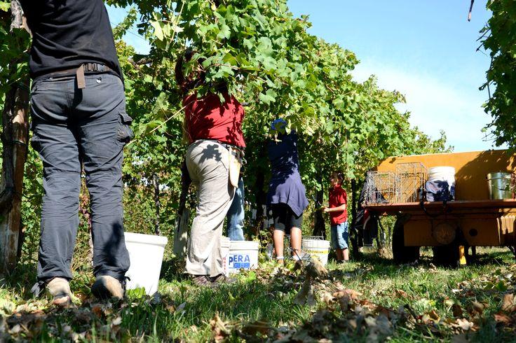 men at work # grape # wine producer # scissor # white wine #