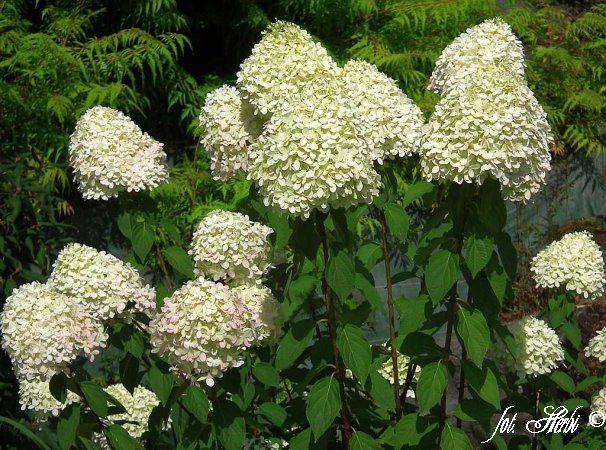 hortensja bukietowa Grangiflora