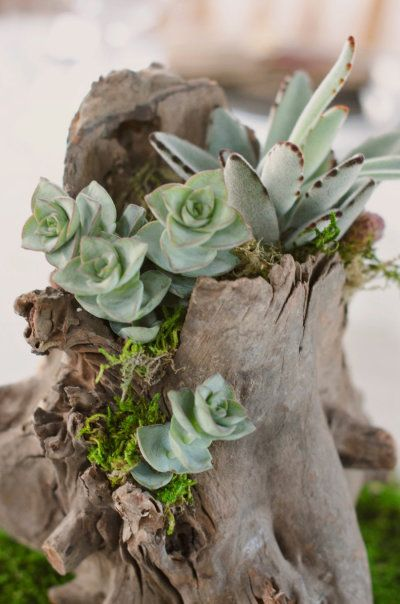 a hollow piece of driftwood as a planter for succulents