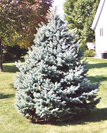 Buying a potted evergreen to serve both as a Christmas tree and a yard tree is possible, though a bit of a challenge.