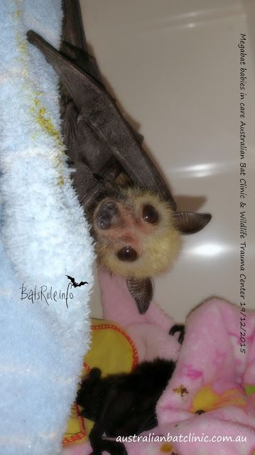 Megabat, flying fox, fruit bat, babies in care ABC 19/12/2015 - Bats_Rule!