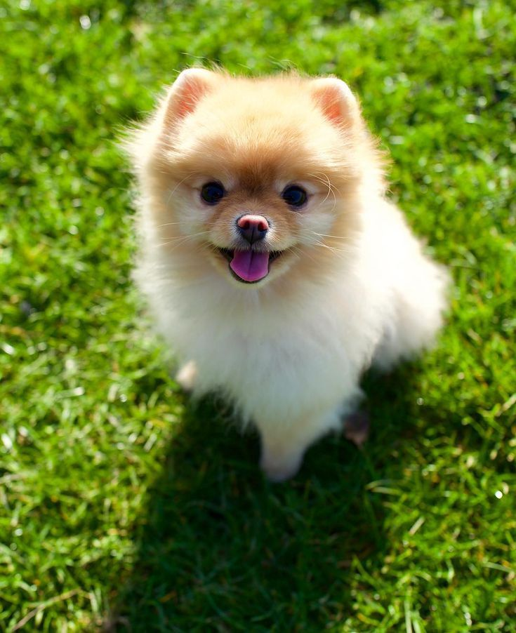 10 Teacup Dog Breeds That Are Irresistibly Adorable Teacup Dog Breeds Fluffy Dogs Tiny Fluffy Dog
