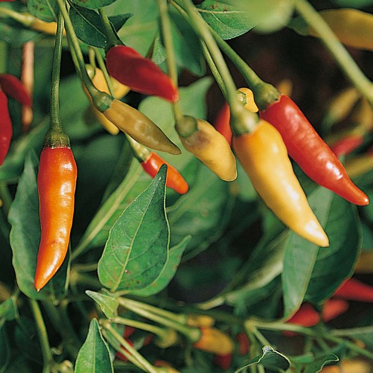 Chilli Pepper 'Tabasco' (Very Hot) - Pepper (Sweet) & Chilli Seeds - Thompson & Morgan