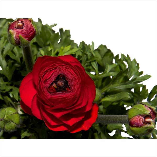 Ranunculus mix tray (Ran.000100) - FloraXchange