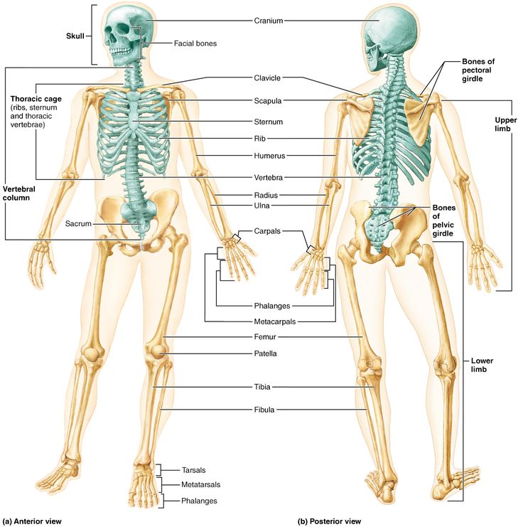 17 best Skin images on Pinterest | Layers, Anatomy and Anatomy reference