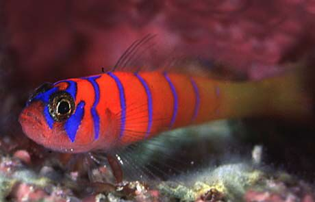 A very peaceful marine fish the catalina goby the for Saltwater goby fish