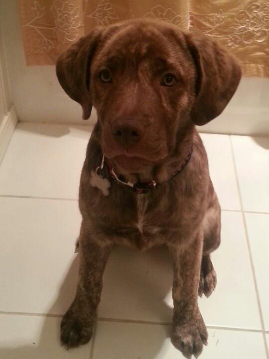 Meet Xena our Boxer-Rottweiler mix puppy