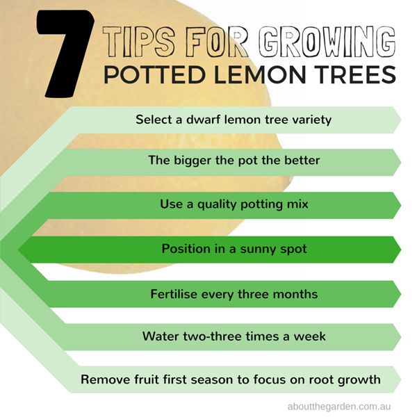 Seven tips for growing potted lemon trees. As housing blocks become smaller, potted lemon is becoming an excellent option for homeowners to still enjoy homegrown produce. Get the full details http://www.aboutthegarden.com.au/index.php/part-2-how-to-grow-potted-lemon-trees/