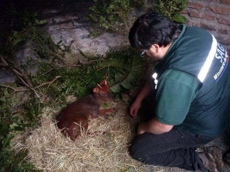 SAG personel rescue a  Pudú deer fawn near Lago Yelcho | from Diario El Huemul http://www.elhuemul.cl/2014/02/01/chaiten-funcionarios-del-sag-rescatan-pudu-en-las-cercanias-del-lago-yelcho/