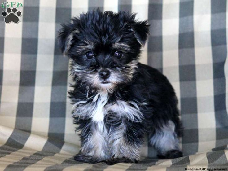 Banjo, Yorkie Poo puppy for sale in Millersburg, Pa