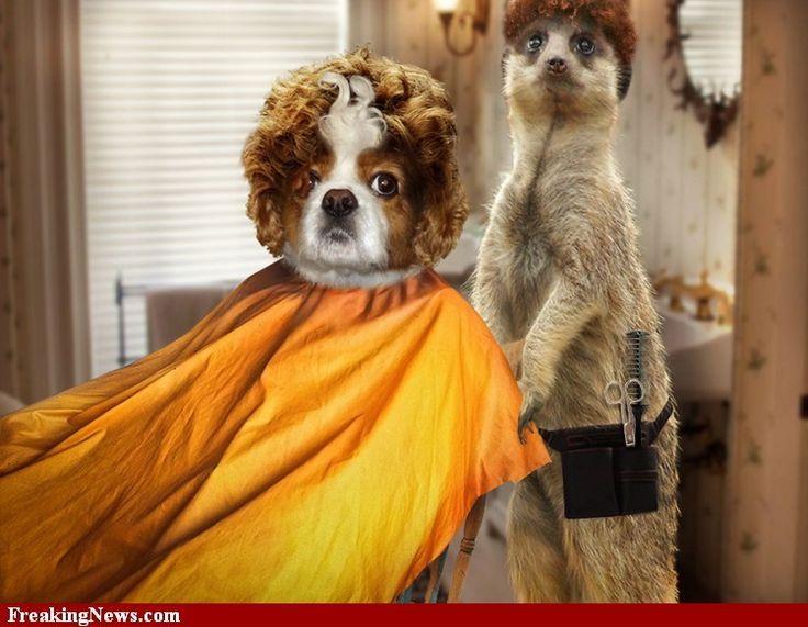Toelettatura shitzu ~ Best dogs beauty e toelettatura images beauty