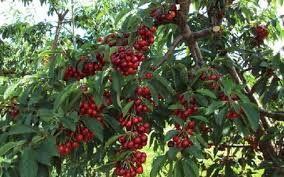 Imagini pentru pomi fructiferi