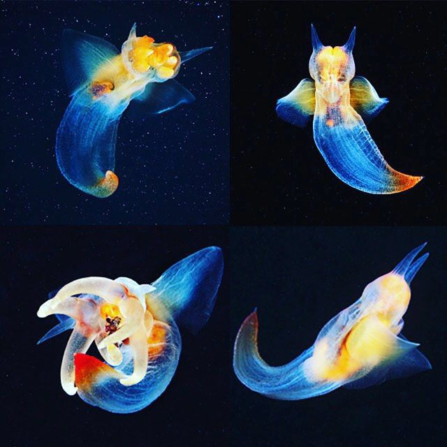 Sea angels are a funny name for a sea slug, but in this case it's right on point. They dwell in the pelagic zone, so in the middle layer of the ocean, and is an opisthobranch, meaning its gills are behind it and help propel it through water. These gastropods have relinquished their shells and grown a free-moving tail-like appendage, both of which assist it in autonomous motion.