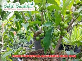 gambar pohon plum berbuah   Bibit Buah Plum Australia http://www.bibitbuahku.com/bibit-buah-plum-australia.htm
