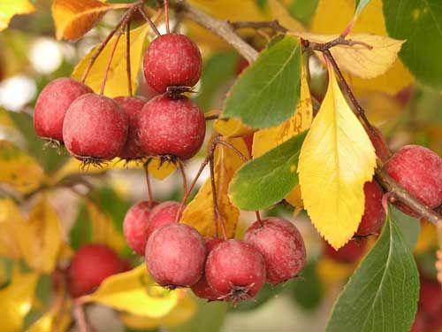 Fruit -  - thornless-cockspur-hawthorn
