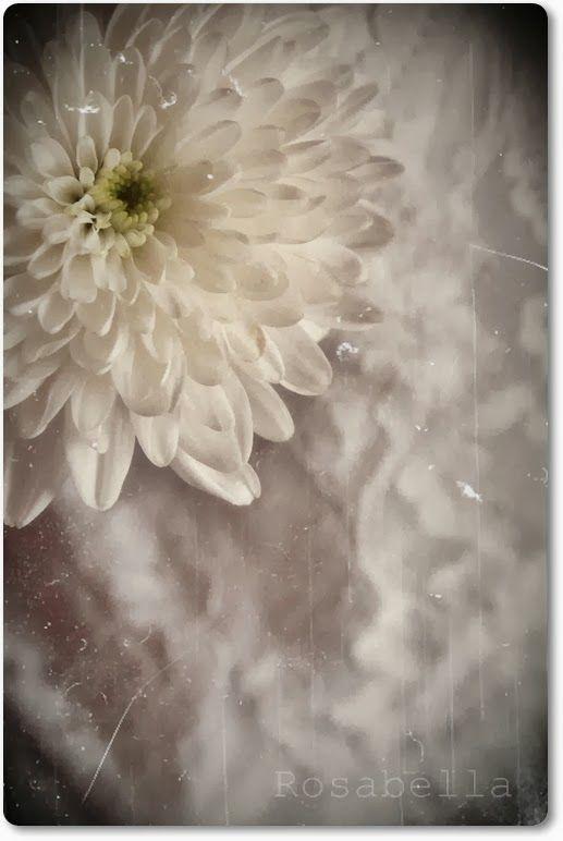 """'Rosabella ~ la vie en rose': """"Die Blume lebt und liebtund redet eine wunderbare Sprache.""""Peter Rosegger"""