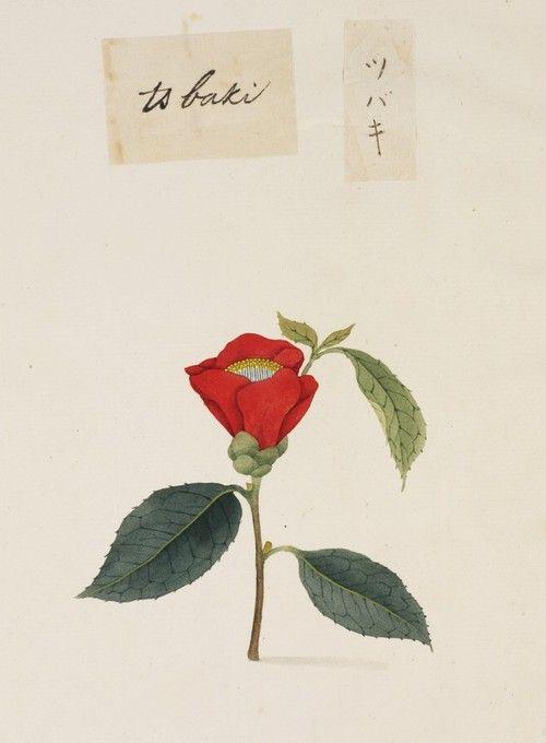 Kawahara Keiga (川原慶賀) Camellia