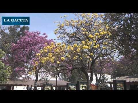 Los lapachos florecieron y Tucumán se vistió de rosado, amarillo y blanco