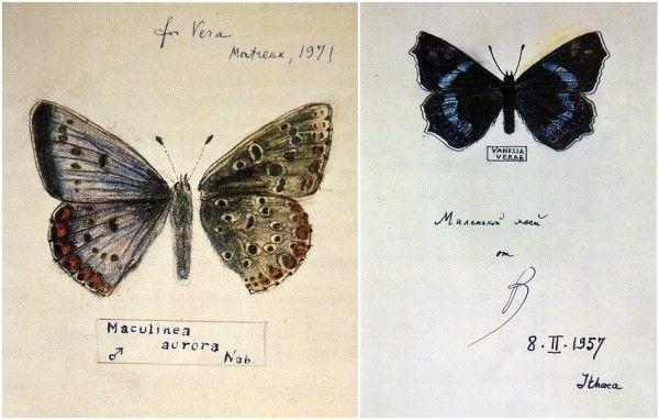 the drawings of butterflies by vladimir nabokov (b. 1899 – 1977)