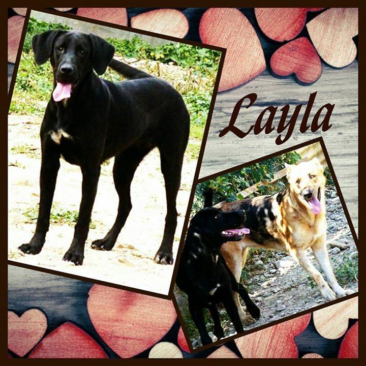 Layla ist eine wunderschöne ca 1 jährige Labrador-Mix Hündin. Ihre Schulterhöhe beträgt ca. 55 cm  60 cm. Sie ist mit allem und jedem verträglich. Katzen Hunden und Kindern alles kein Problem für Layla. Sie ist  sehr lernbegierig und spielfreudig. Trotzdem aber ruhig und sehr aufmerksam. Sie ist ein toller Familienhund. Im Moment ist die Süße noch in Spanien.  Layla ist geimpft und gechipt und wird nur nach VK und mit Schutzvertrag vermittelt. Unsere Anzeigen sind tagesaktuell. Anfragen…
