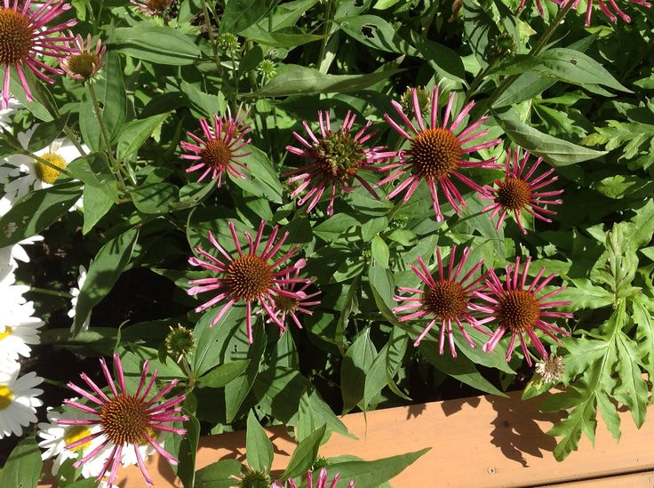All that jazz echinacea