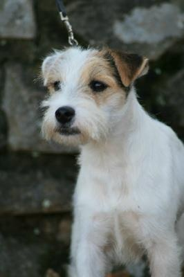parson russell terrier info | ... Terrier, Jack Russell Terrier/Parson Russell Puppies, Dog Breed Info