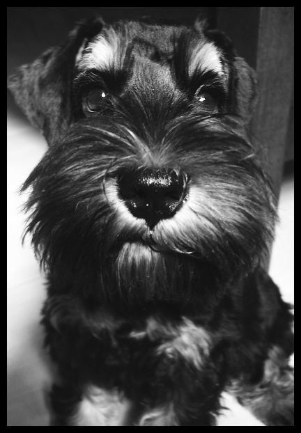Schnauzers ♥Interesting Things, Friends, Minis Schnauzers, Pets, Miniatures Schnauzers, Minischnauzer Dogs, So True, Luv Schnauzers, Animal