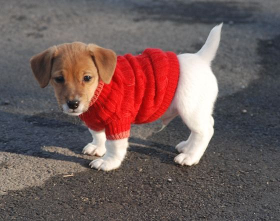 Puppies are so cute and stumpy. And this one comes in a red knit jumper! :)