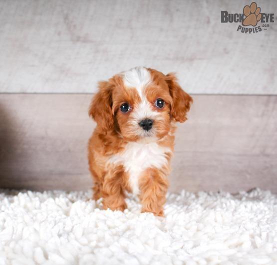 Pin By Erin Bredenkamp On Doggies Cavapoo Puppies Cute Animals Puppies