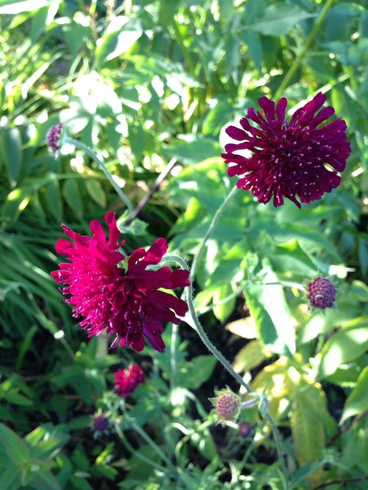 Grekvädd som gärna får ta plats - annasträdgård