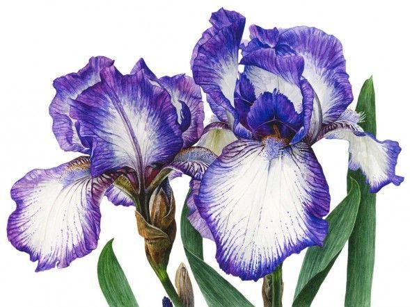 "Anna Mason Art   Iris 'Arctic Fancy' Botanical print from an original watercolor £195, 18"" x 24"", Shipped worldwide http://annamasonart.com"