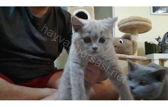 Safkan British Shorthair cinsi Lillac renk 2.5 aylık dişi kedimiz ücretli sahiplendirilecektir.