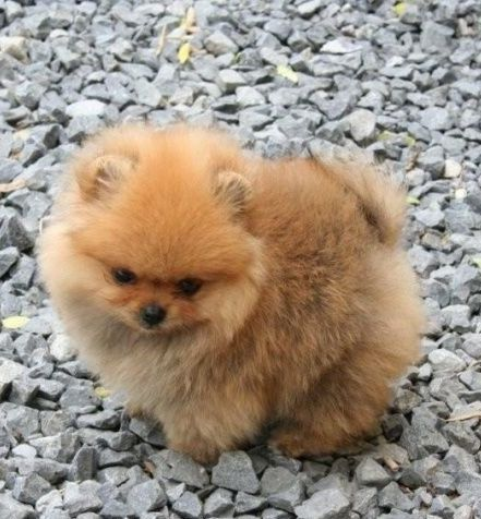 1294 best images about pom love on pinterest toy - Cute pomeranian teacup puppy ...