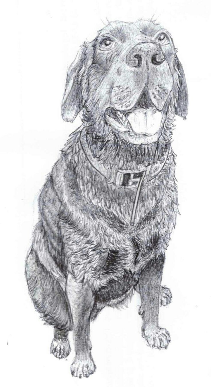 "Biro pen drawing of ""Tia"" the (very soggy) labrador."