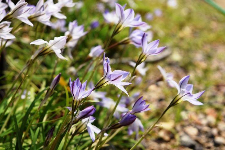 『ハナニラ  清楚な姿なのに、香りは… すべてに完璧なことってないよね(*´꒳`*)』コットンさんが投稿した『山野草』コンテスト,白い花,うなじショットの画像です。 (2017月4月5日)