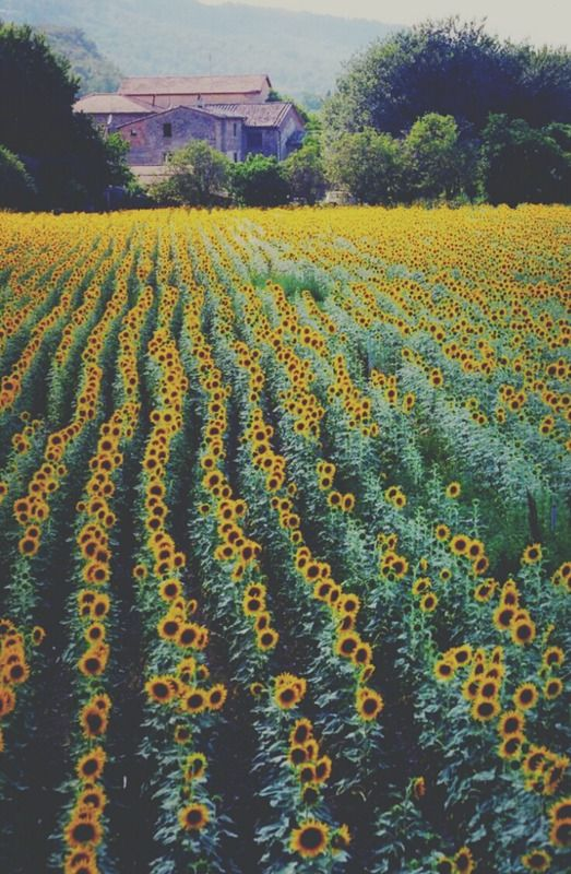 rows and rows of #sunflowers ...  I WANT TO GO TO ONEEEE!!! SUNFLOWERS ARE MY FAVORITE!!!