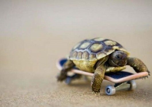 Baby turtle. Baby skateboard.