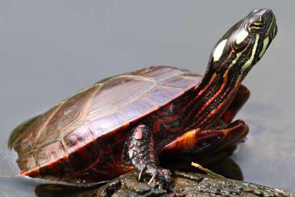 Image Result For Turtles In Virginia Fresh Waters Types Of Pet Turtles Pet Turtle Turtle