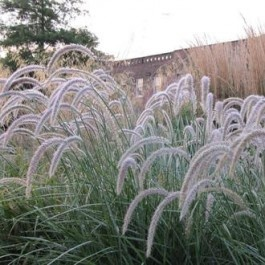 17 best images about landscape ornamental grasses on for Blue fountain grass