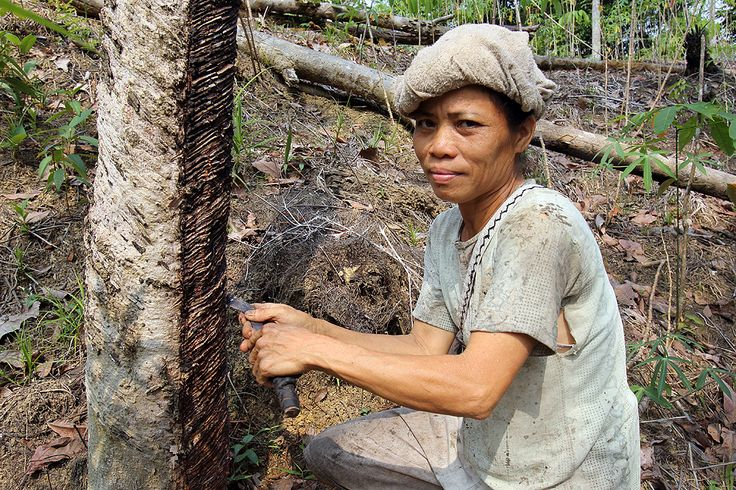 Rubber tapper in the interior of Nias Island. Rubber tapping and coconut harvesting are the most important economic activities on Nias. North Nias Regency, Indoensia. Photo by Bjorn Svensson. www.northniastourism.com