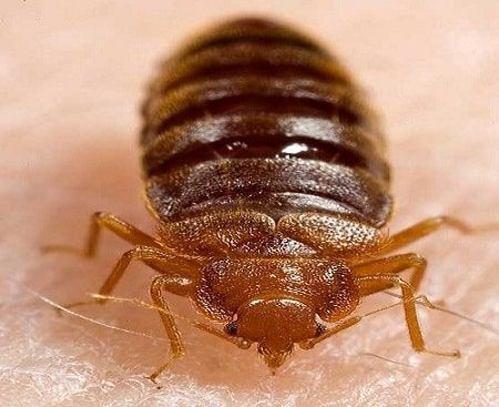 Do You Know Why Bedbugs Keep Coming Back In Your House