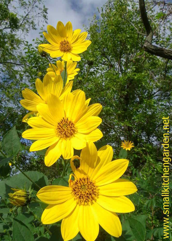 Sunchoke blossoms
