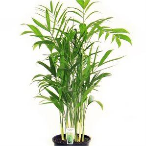 200mm Golden Cane Cascade Palm