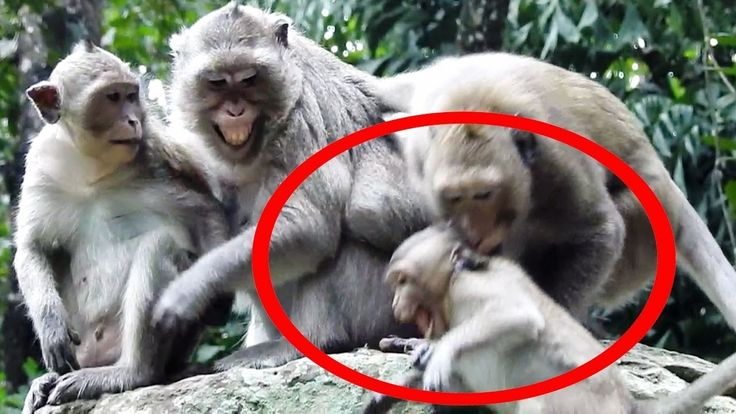 Big Male Monkey Bite Small Baby Monkey And Mommy Cry Loudly